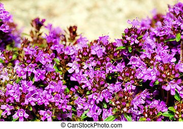 Intense color of thyme blossom - Gardening or landscaping...