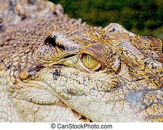 intense crocodile