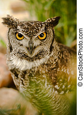 Intense stare - Yellow eyed owl with a serious, hard look