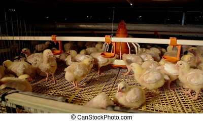 Intensive factory farming of chicks broiler houses -...