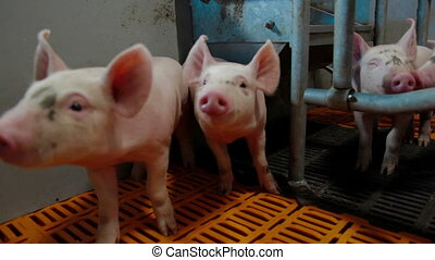 Intensive pig farming. Piglest in farm
