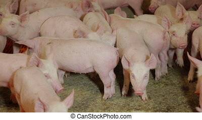 Intensively farmed pigs in batch pens - Intensive pig...