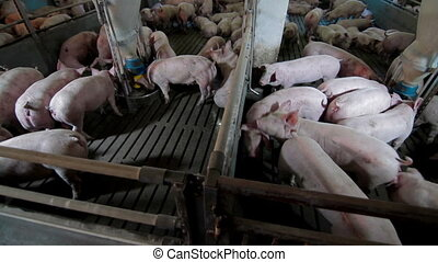 Intensively farmed pigs in batch pens - Intensively farmed...