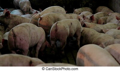 Intensively farmed pigs in batch pens - Intensively farmed...