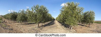 intensivo, aceituna, árboles, plantación, panorámico