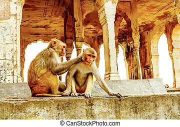 Interaction of two monkeys grooming in Jaipur, India
