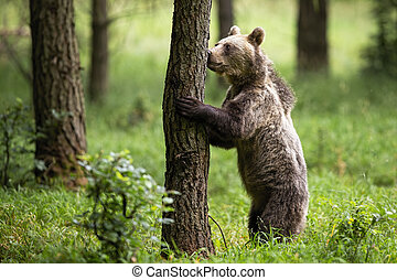 Interested brown bear standing on rear legs and sniffing a tree in summer forest
