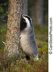 Interested european badger standing on rear legs by tree trunk