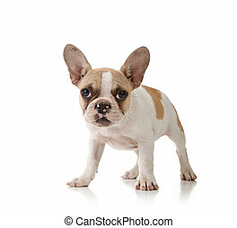 Puppy on White Background - Interested Puppy on White ...