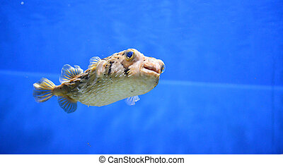 Interesting Porcupinefish Swimming Along Under the Water
