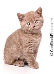 Interesting Scottish kitten