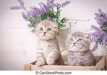 Interesting Scottish kittens. Couple fold cats Lavender flowers in the background.