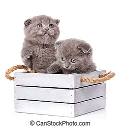 Couple fold cats sitting in a wooden box on a white background
