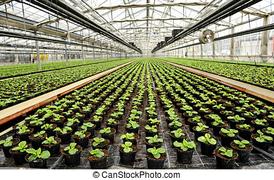 Interior of a commercial greenhouse for cultivating potted...
