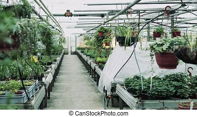 Interior of a large greenhouse with pots of plants. -...