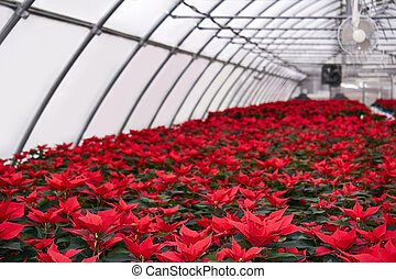 plant nursery with many red poinsettia flowers in a greenhouse