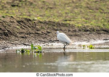 Intermediate Egret Wading in River
