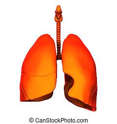 intern, freigestellt, -, lungen, organe