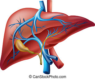 Internal liver - Illustration of the human internal liver