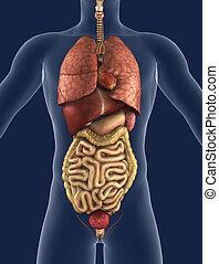 Internal Organs Front View - 3D render of the internal...
