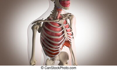 internal organs in action perspective view with motion - 3d...