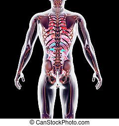 Internal Organs - The internal adrenal Organs. 3D rendered...