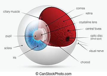 internal structure of the human eye vector