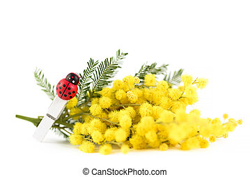 branch of mimosa and ladybug clothespins on white background