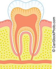 interno, diente, estructura