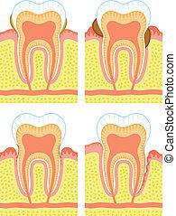 interno, estructura, diente