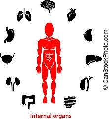 interno, umano, organs.