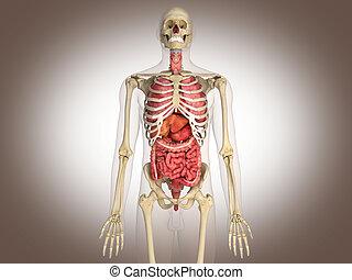 interpretación, interno, intestinal, órgano, 3d