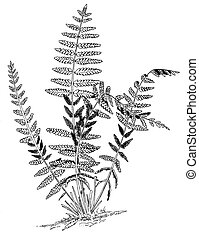 Interrupted Fern - Osmunda claytoniana
