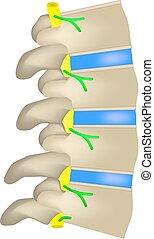 intervertebral, discs., isolerat, illustration, spine., infographics., vektor, bakgrund, utsikt., sida, struktur