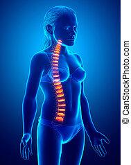 intervertebral, espinazo, anatomía, joven, disco, niña