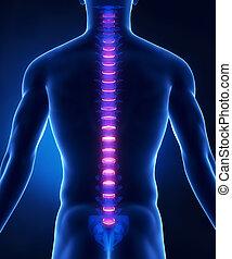 intervertebral, espinazo, anatomía, trasero, disco, vista