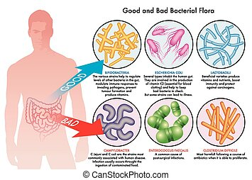 intestinal bacterial flora - medical illustration of the...