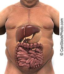 Intestinal Internal Organs of Overweight Body. 3D render