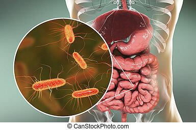 Intestinal microbiome, Escherichia coli