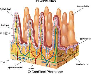 intestinal villus - medical illustration of anatomy of the...