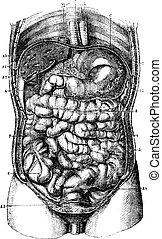intestine., 8., caecum., 6., descaro, 10., blad, colon., stomach., 4., 2., rectum., pyloric, 11., 9., 7., 12., ascendente, descendente, liver., transversal, esophagus., orificio, duodenum., 5., 3., pequeño, 1.