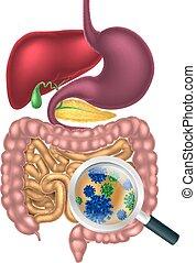 intestino, bacterias, lupa