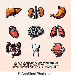 intestino, set, occhio, cervelli, cuore, icone, organi, -, stomach., vettore, polmoni, umano, handdrawn, fegato, denti, interno, reni