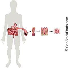 intestino tenue, fodera
