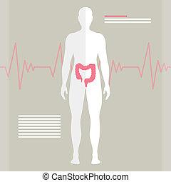 intestino, vetorial, human
