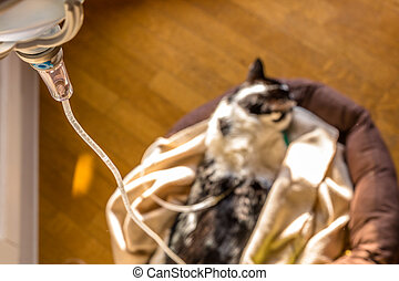 Intravenous drip cat - Focus on intravenous drip infusion on...