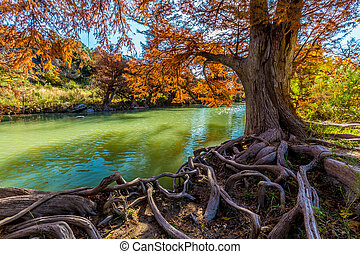 Guadalupe State Park, Texas - Intricate Intertwined Cypress...