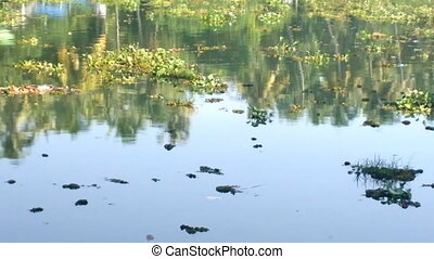 Introduced plant species 1. Water hyacinth - green plague,...