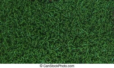 Invasion of green caterpillars. Close up. - Green...