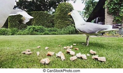 Invasion of seagulls in the garden for bread.